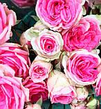 Роза Mimi Eden (Мімі Еден) спрей бордюрна 1 саджанець, фото 4