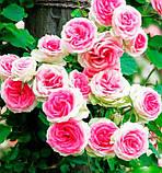 Роза Mimi Eden (Мімі Еден) спрей бордюрна 1 саджанець, фото 5