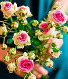 Роза Mimi Eden (Мімі Еден) спрей бордюрна 1 саджанець, фото 6