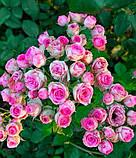 Роза Mimi Eden (Мімі Еден) спрей бордюрна 1 саджанець, фото 7