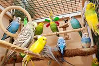 Линька волнистых попугаев