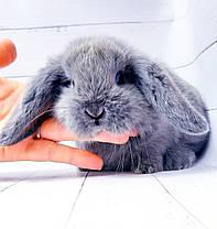 """Карликовый вислоухий кролик,порода """"Вислоухий баранчик"""",окрас """"Серебристо-голубой"""",возраст 1,5мес.,мальч.и дев, фото 3"""