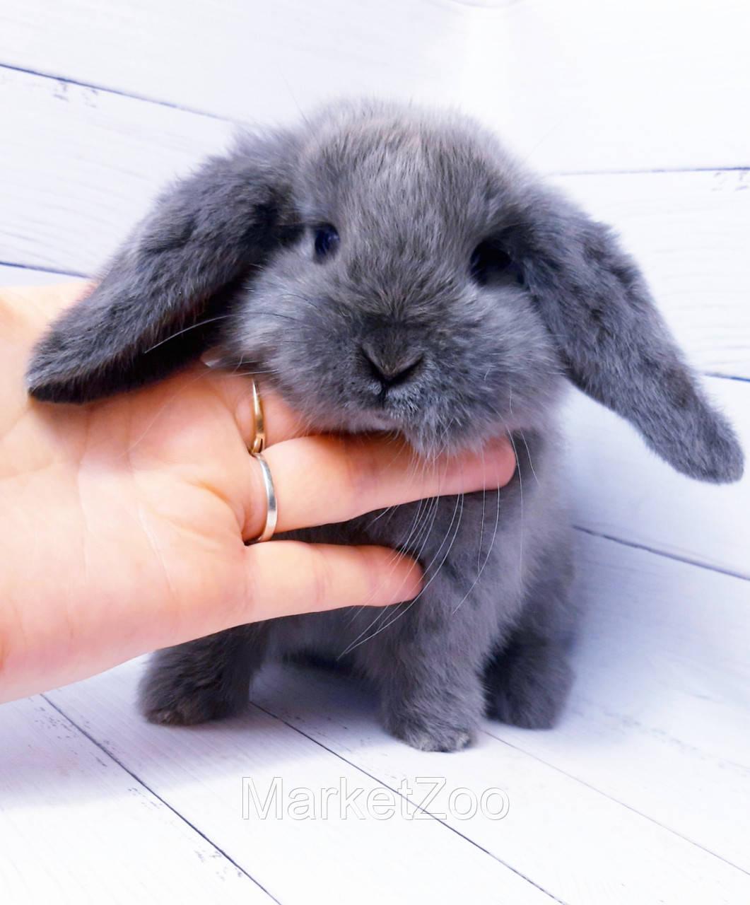 """Карликовый вислоухий кролик,порода """"Вислоухий баранчик"""",окрас """"Серебристо-голубой"""",возраст 1,5мес.,мальч.и дев"""