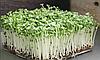 КАПУСТА, насіння капусти органічні для пророщування 50 грам