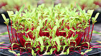 Семена буряка (свеклы) для выращивания микрозелени
