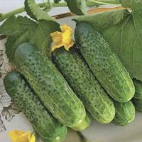 Семена огурца F1, 1000 семян, для фермеров, Seminis