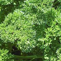 Семена кудрявой петрушки сорт Петра Bejo, семена пряностей почтой в профупаковке крупной фасовки 500 грамм