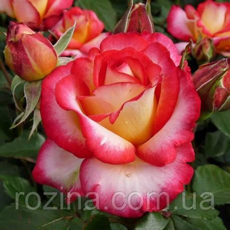 """Саджанці троянди """"Лео Ферре"""""""
