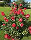 """Саджанці троянди """"Лео Ферре"""", фото 2"""