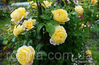 """Саджанці троянди """"Солей Вертикаль"""""""
