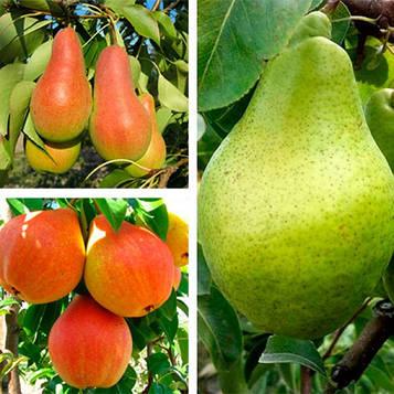 Груша дерево-сад (Талгарская красуня + Листопадова + Улюблениця Клаппа)