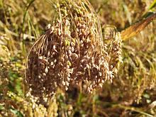 Озимі та ярі зернові культури ( просо, пшениця, ячмінь, овес і. ін)