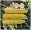 Кукуруза сахарная 1010 F1 (72 дней), кочан 25 см (2 500 нас.) Lark Seeds
