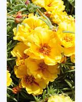 Семена цветов портулака крупноцветкового Yellow 0,1 г