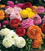 Семена цветов ранункулюса Mix 100 драже