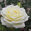 Троянда 'Шопен' Преміум