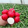 Редис Валери F1/Valerie F1 Rijk Zwaan 25000 семян