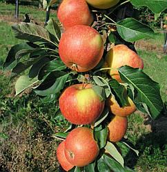 Яблуня колоновидна ЕЛІТА
