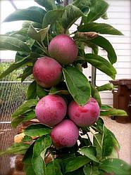 Яблуня колоновидна ВОЖАК