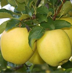 Голден Яблуня