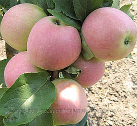 Яблуня Слава Переможцям