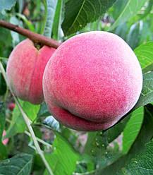 Персик Київський Ранній високоврожайний