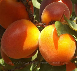 Абрикос Ерлі Ред Оранж | Early Red Orange (США)