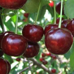Вишня Мелітопольска десертна (Літній сорт, ранній термін дозрівання)