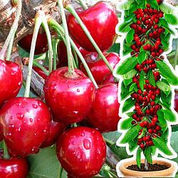 Вишня Малютка колоновидна  (крупноплодний сорт)
