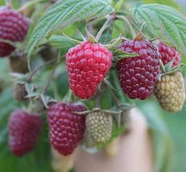 Малина Полка | Rubus Polka