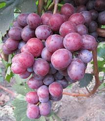 Виноград столовый Армани