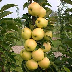 Яблуня колоновидна МЕДОК
