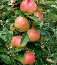 Яблуня Колоновидна Валюта