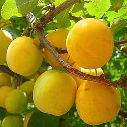 """Слива  """"Жовта Афаска""""  (Літній сорт, середній термін дозрівання)"""