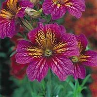 Семена цветов сльпиглоссиса Purple Bicolour 100 драже