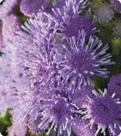 Семена цветов Агератум Принц Blue 250 драже