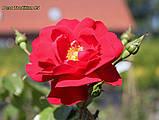 Роза Tradition 95® (Традишн 95), фото 2