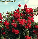 Роза Tradition 95® (Традишн 95), фото 5