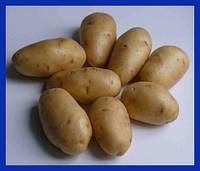 Картофель Импала 5 кг