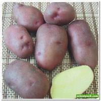Картофель Фантазия 3 кг ФХ Лилия