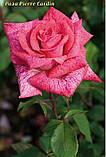 Роза Pierre Cardin (П'єр Корден), фото 3