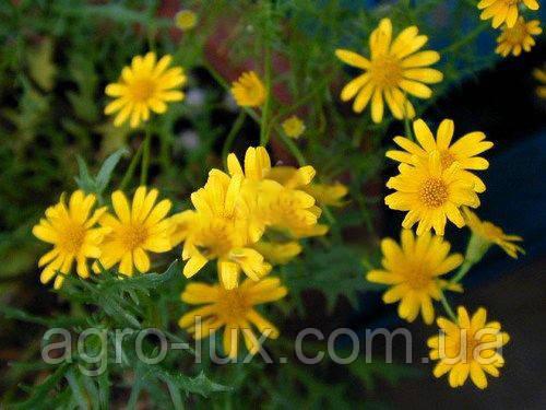 Семена цветов тимофиллы Альбион Gold Star