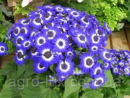 Цинерария Вероника, Blue Picotee, 100 семян