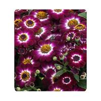 Цинерария Вероника ,Crimson Picotee ,100 семян
