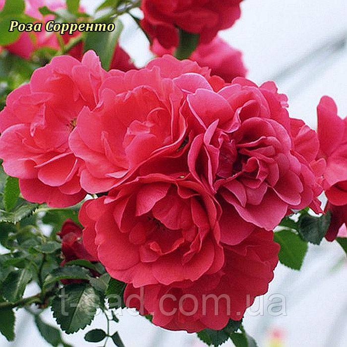 Роза Sorrento (Сорренто)