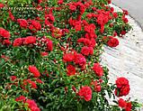 Роза Sorrento (Сорренто), фото 2