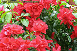 Роза Sorrento (Сорренто), фото 5