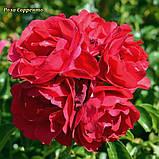 Роза Sorrento (Сорренто), фото 4