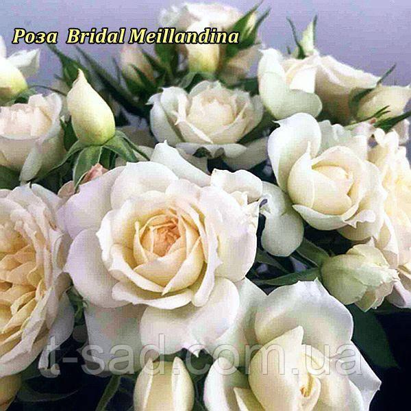 Роза  Bridal Meillandina (Для новобрачных).