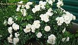 Роза  Bridal Meillandina (Для новобрачных)., фото 3